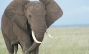 非常干燥的皮肤如何保护非洲大象